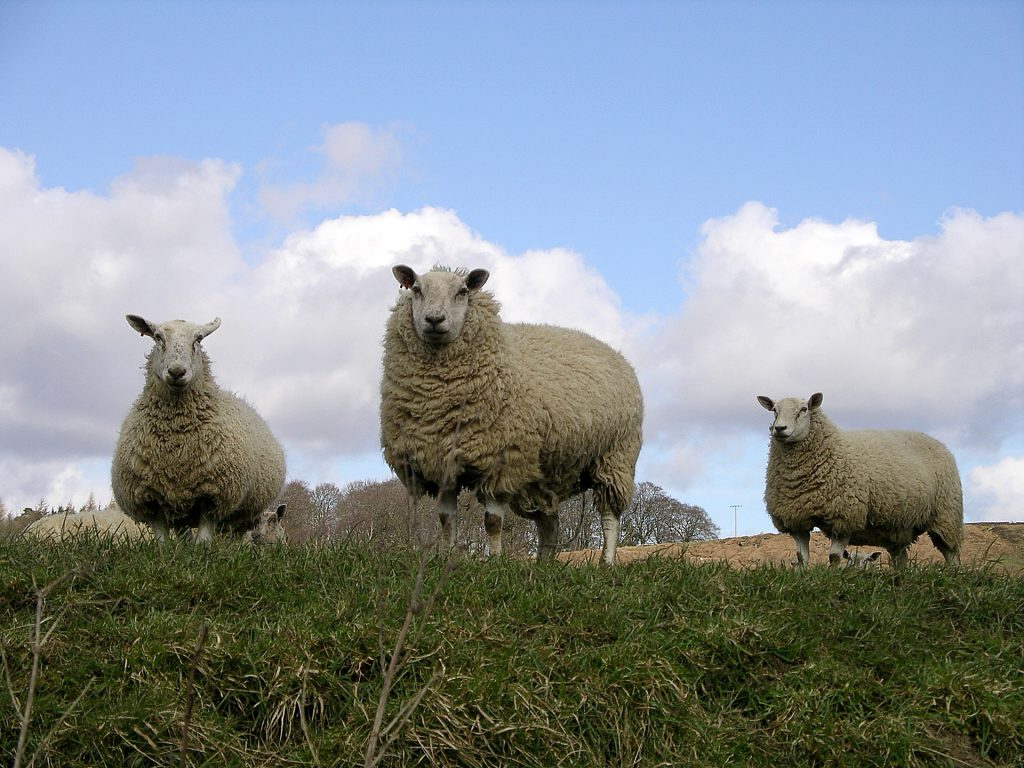 sheep-1568339-1920x1440
